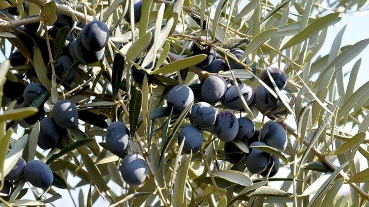 Üreticiden zeytin ve zeytinyağı almak isteyenler için